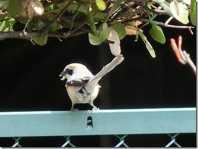 鳥のモズの子育てを庭先で見た! 餌を運ぶ親鳥も?「写真と動画」