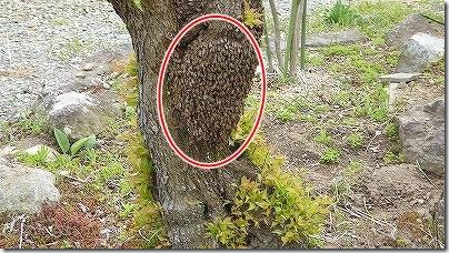 日本ミツバチの群れ