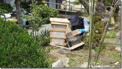 日本ミツバチの捕獲