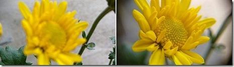 菊の花を撮った