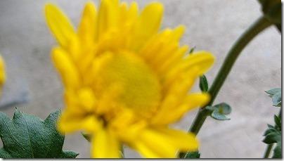 ボケた菊の花