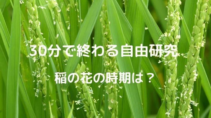 30分で終わる自由研究は超簡単、稲の花の時期でまとめ済み!