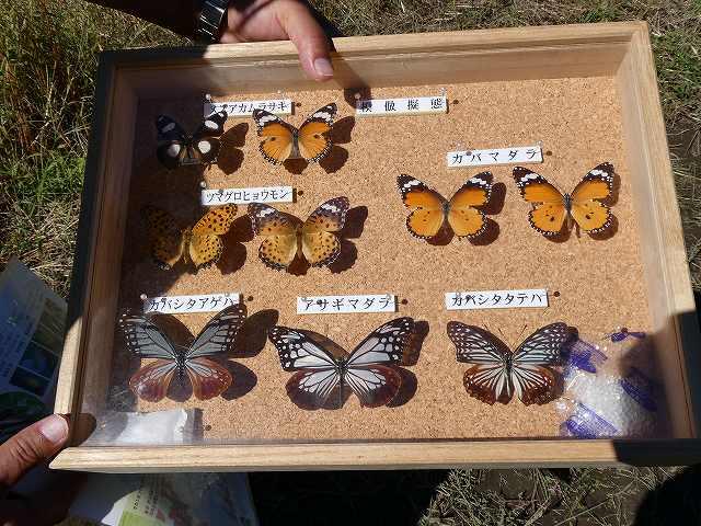 アサギマダラの擬態の蝶