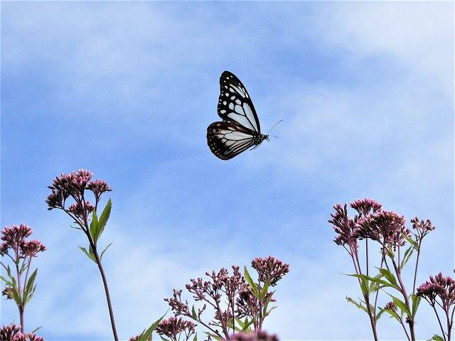 アサギマダラの飛来地、諏訪市