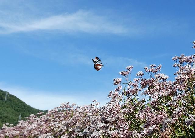 飛び立ったアサギマダラ 白狐公園
